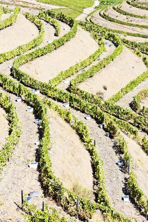 portugal agriculture: vineyars in Douro Valley, Portugal