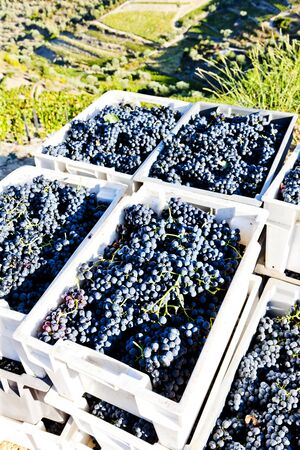 portugal agriculture: wine harvest, Douro Valley, Portugal Stock Photo