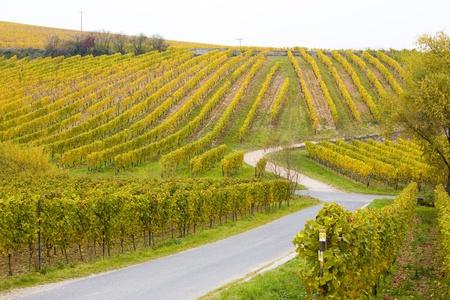falltime: vineyards near Johannisberg Palace, Hessen, Germany Stock Photo