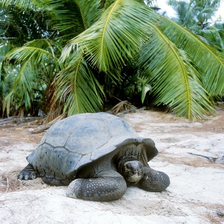 tortuga, Curieuse, Seychelles