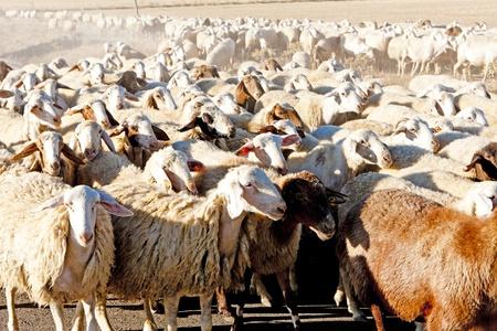 castile leon: sheep herd, Castile and Leon, Spain