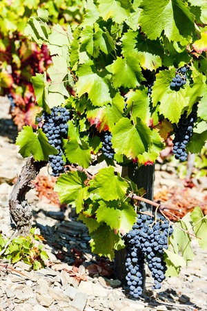 red grapes, Douro Valley, Portugal photo