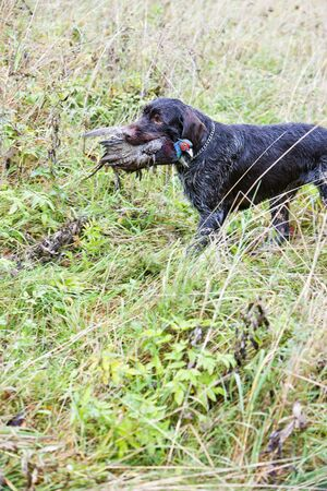 hunting dog with a catch photo