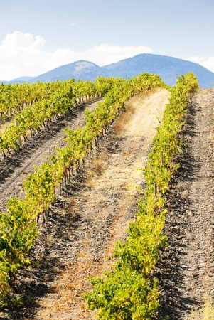 roussillon: vineyars near Saint-Paul-de-Fenouillet, Languedoc-Roussillon, France