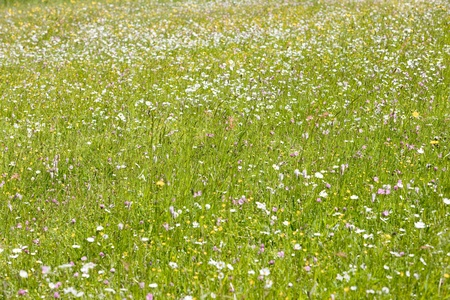 meadow in blossom