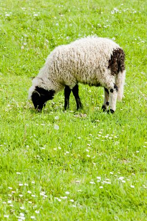 bosnia hercegovina: lamb on meadow, Bosnia and Hercegovina