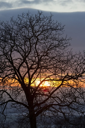auroral: tree at sunset