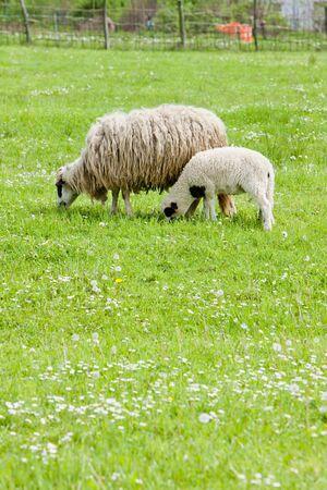 hercegovina: sheep with a lamb, Bosnia and Hercegovina