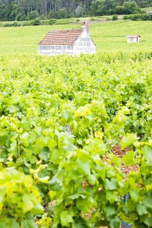 vineyards near Gevrey-Chambertin, Cote de Nuits, Burgundy, France photo
