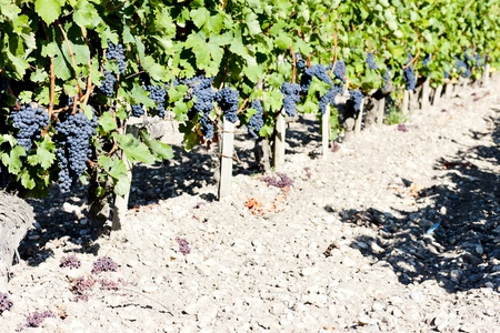 vineyard with blue grapes in Bordeaux Region, Aquitaine, France photo