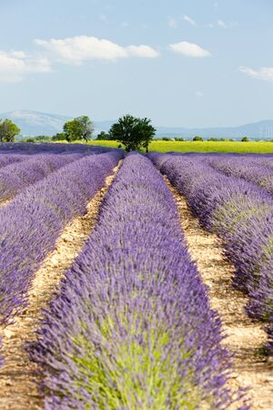 lavender field, Plateau de Valensole, Provence, France photo