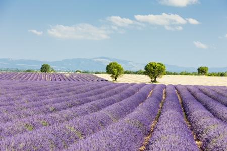plateau of flowers: lavender field, Plateau de Valensole, Provence, France Stock Photo