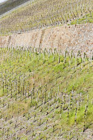 moseltal: vineyar near Mulheim, Moselle Valley, Rhineland-Palatinate, Germany