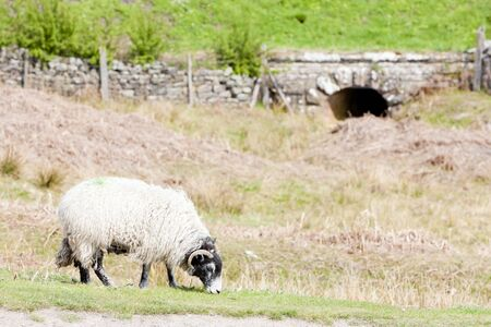yorkshire and humber: sheep on meadow, North Yorkshire, England