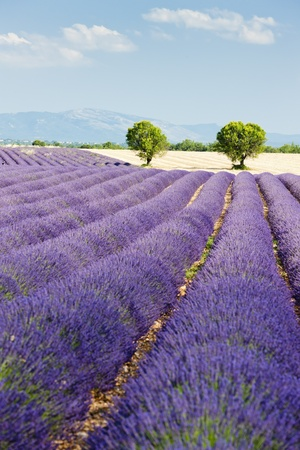 lavender field, Plateau de Valensole, Provence, France Stock Photo