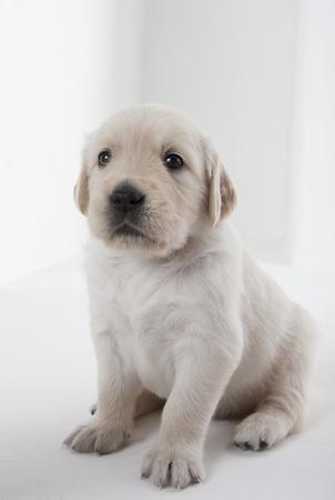 puppy of golden retriever 写真素材