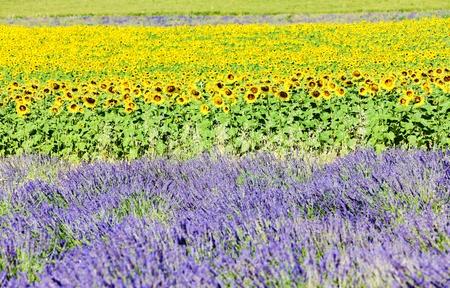 champs de lavande et de tournesol, Provence, France