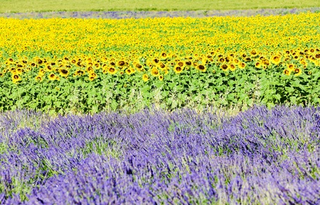 lavender and sunflower fields, Provence, France photo