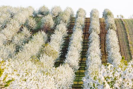 blooming orchard in spring, Czech Republic Stock Photo - 12863595