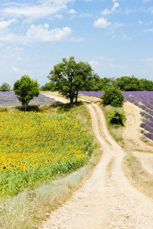 sunflower and lavender fields, Plateau de Valensole, Provence, France photo