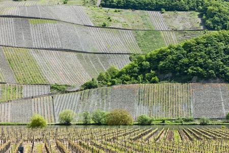 moseltal: vineyars near Polich, Rhineland-Palatinate, Germany