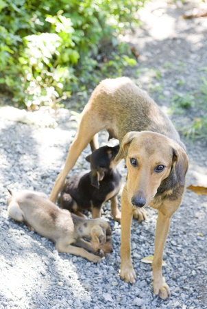 female dog with puppies, Tobago photo