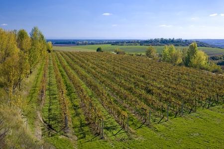 falltime: vineyards, ZD Sedlec, Czech Republic