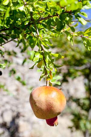 pomegranate, Portugal photo