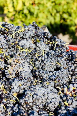 wine harvest in Fitou appellation, Languedoc-Roussillon, France Stock Photo - 13523550