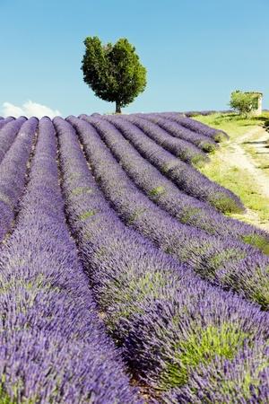 plateau: lavender field, Plateau de Valensole, Provence, France Stock Photo