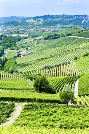 vineyars near Barbaresco, Piedmont, Italy photo