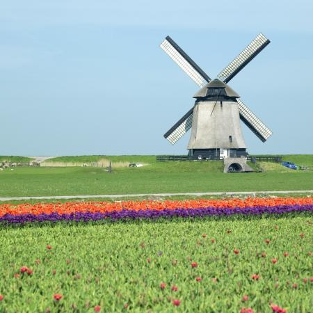 schermerhorn: windmill with tulip field near Schermerhorn, Netherlands