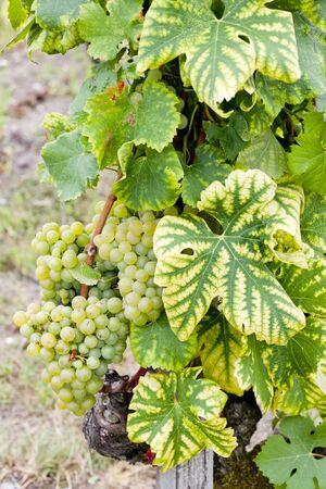 sauternes: white grape in Sauternes Region, Aquitaine, France