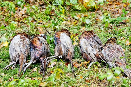 excludes: excludes of dead pheasants