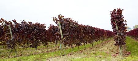 falltime: vineyard, Hochheim, Rheingau, Germany