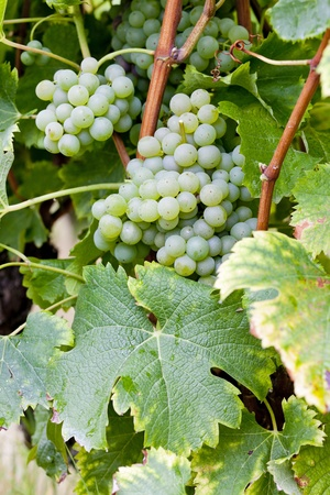aquitaine: white grape in Sauternes Region, Aquitaine, France