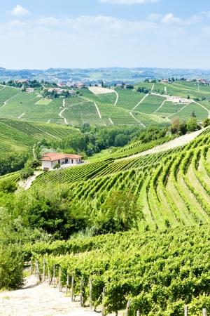 piedmont: vineyars near Barbaresco, Piedmont, Italy