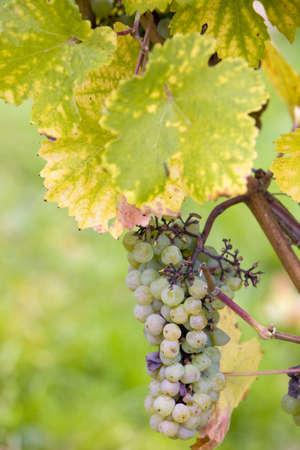 falltime: grapes (Weiser Elbling), Germany