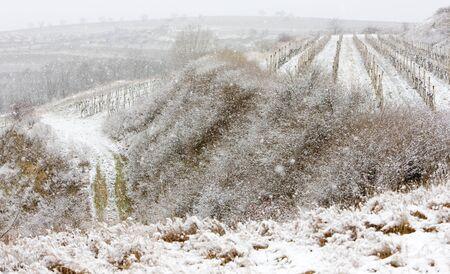 znojmo region: winter vineyards, Eko Hnizdo, Czech Republic