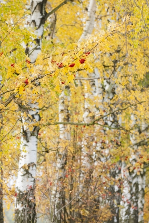 natural vegetation: autumnal birch alley