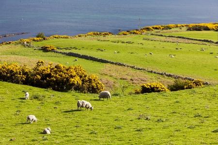costal: landscape with sheep near Crackaig, Highlands, Scotland
