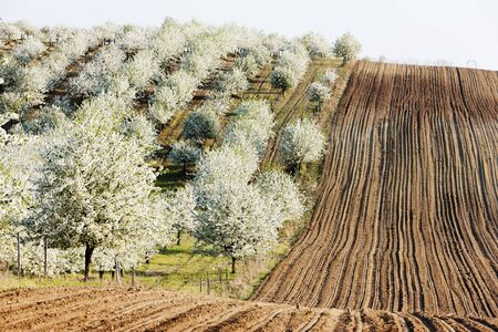 blooming orchard in spring with a field, Czech Republic photo