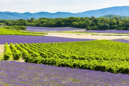 champs de lavande et de vignobles, Rhône-Alpes, France