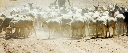 extremadura: sheep herd, Badajoz Province, Extremadura, Spain Stock Photo