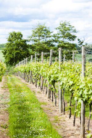 kent: vineyar near Lamberhurst, Kent, England