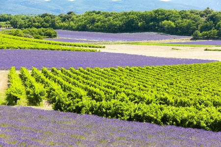 lavender fields with vineyards, Rhone-Alpes, France photo