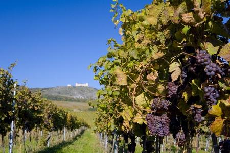 falltime: ruins of Devicky castle with vineyard, Czech Republic