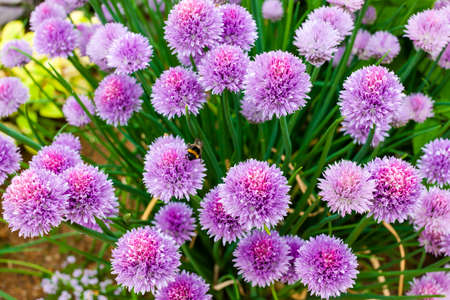 chive: chive flowers