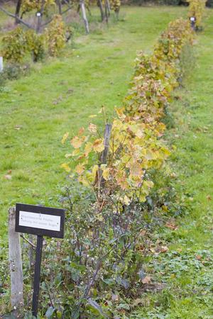 falltime: Rheinhessische Pfahler - ziehung mit einem Bogen, Eberbach, Hessen, Germany Stock Photo