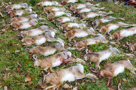excludes: excludes of caught animals (hare) Stock Photo